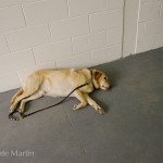 Eamon - one very tired guide dog!