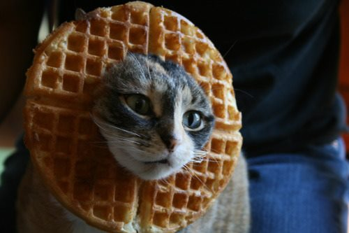 """There are currently no comments on """"cat waffle"""". Perhaps you would ..."""